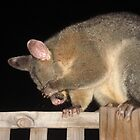 Shy Brush-tailed Possum by gen1977