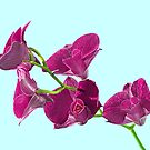Orchid: Purple Dendrobium by Bob Fox