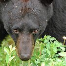 Black Bear - Close Encounter by Barbara Burkhardt
