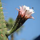 Cactus by HelenBanham