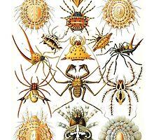 Spider Haeckel Illustration by monsterplanet