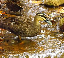 Woodlands Duck by Dave Storey