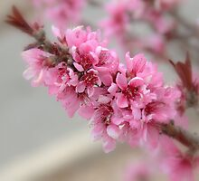 Spring Pink by Bonnie T.  Barry