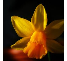 Dark Daffodil Photographic Print
