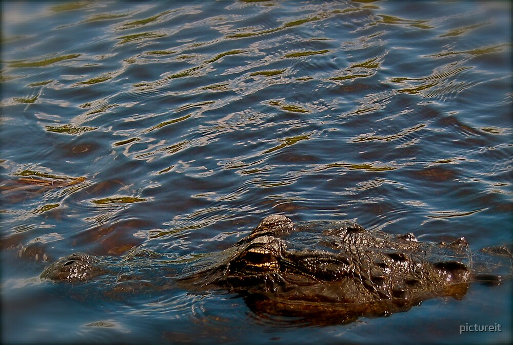 Gator  by pictureit