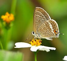 Long-tailed Blue  by Tony Wong