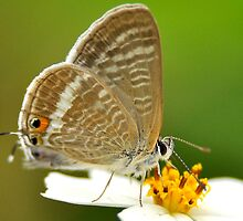 Long-tailed Blue (close up) by Tony Wong