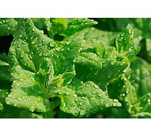 Spinach leaves Photographic Print