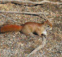 Friendly Squirrel by HALIFAXPHOTO