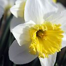 *DAFFODIL* by Van Coleman