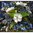 Pear's Blossom Into the Universe by Gaia Vision