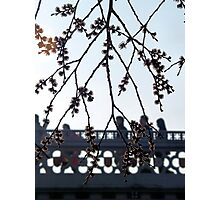 Spring blossom in the rush hour Photographic Print
