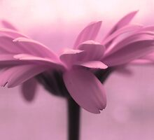 pink petals by Angel Warda