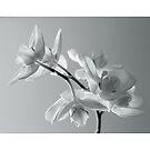 Orchid B_W by narabia