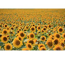 Sea of sunflowers near Traverse City, Michigan Photographic Print