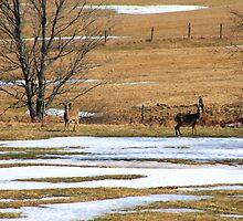 Deer In A Field by HALIFAXPHOTO