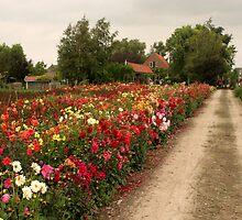 Dutch flowers by Matt Emrich