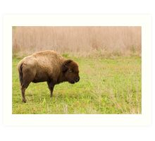 Payne's Prairie Bison Art Print