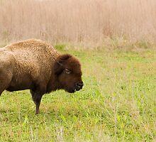 Payne's Prairie Bison by Susan Gottberg