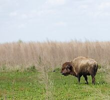 Bison by Susan Gottberg