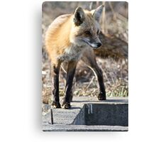 What a sporty little vixen Canvas Print