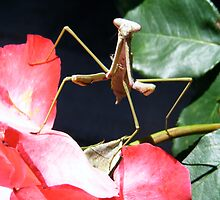 praying mantis by littlebirdy