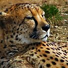 Cheetah by Devon Mallison