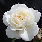 A Rose By Any Other Name.... by Ahscotty