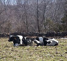 Mo's View of Bodacious Bovines 5 by Maureen Zaharie