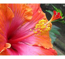 raspberry orange hibiscus Photographic Print