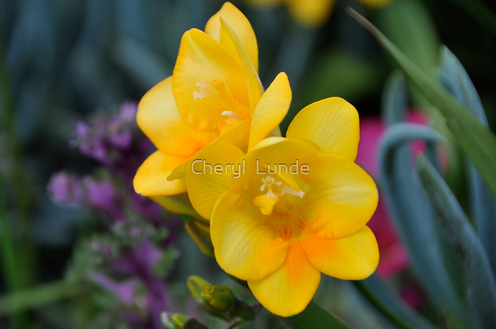 Yellow Freesia by Cheryl  Lunde