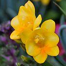 Yellow Freesia by Cheryl  Lunde