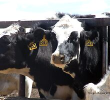 Mo's View of Bodacious Bovines 8 by Maureen Zaharie