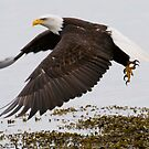 Bald Eagle: Lifting Off by David Friederich
