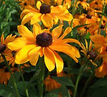 Rudbeckia Marmalade at West Dean Gardens Sussex United Kingdom by jenny meehan