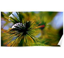 Snow on a Pine Poster