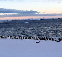Adelie Penguin Sunset by josilver