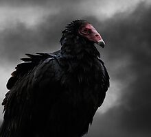 Turkey Vulture by AndyCh