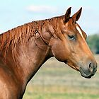 Magnificent Quarter horse by julie anne  grattan