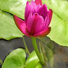 pink waterlily bud  by nyxs