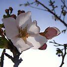 Cherry Blossom by peyote