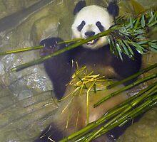 Giant panda #1 by Matsumoto