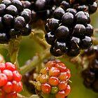 Blackberries by Geoff Carpenter
