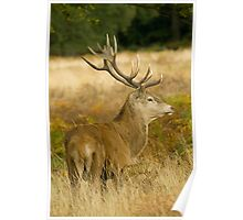 Red Deer Stag (3483) Poster