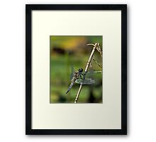 Four Spotted Chaser - Dragonfly Framed Print