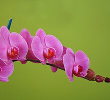 Orchid Blossoms of Spring by Deborah  Benoit