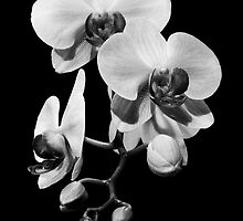 Orchid Flowers by Marc Garrido Clotet