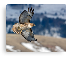 Red-Tailed Hawk Banking Away Canvas Print