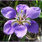 A graceful iris by daffodil