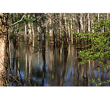 Cypress Reflections Photographic Print